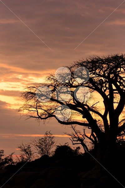African baobab in a lovely evening sun – Popular Stock Photos