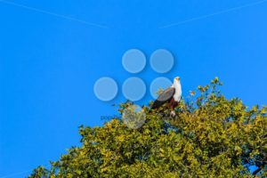 African fish eagle tree with leaves - Popular Stock Photos