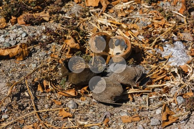 Baobab tree fruit and seeds fallen on the ground – Popular Stock Photos