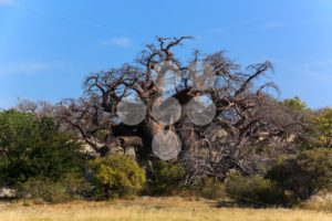 Big african baobab Botswana - Popular Stock Photos
