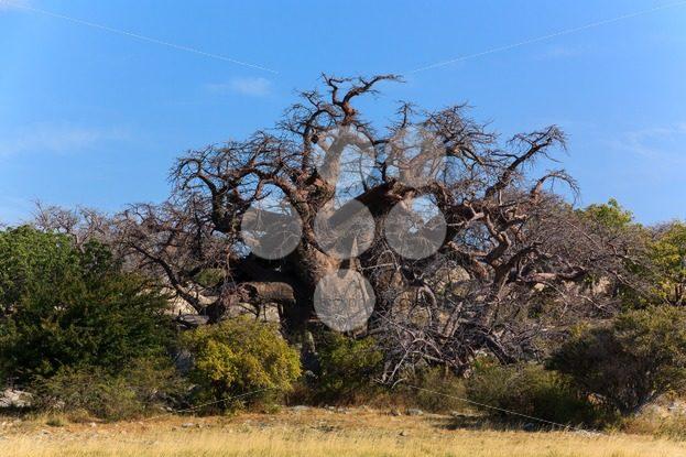 Big african baobab Botswana – Popular Stock Photos