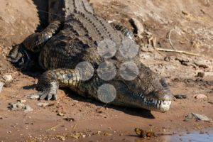 Big crocodile resting riverfront Chobe Botswana Africa - Popular Stock Photos