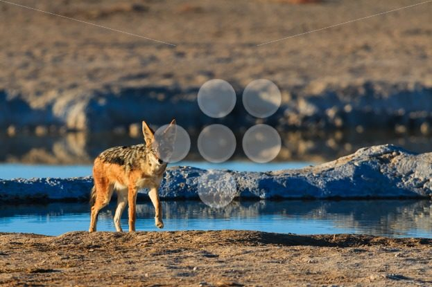 Black backed jackal leaving water hole – Popular Stock Photos