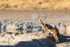 Black backed jackal observe water hole - Popular Stock Photos