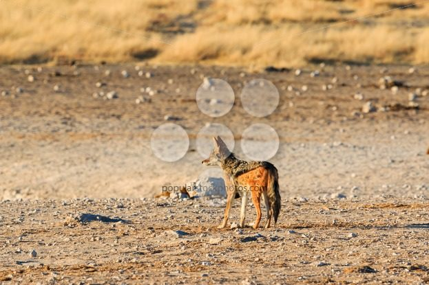 Black backed jackal observing salt pan – Popular Stock Photos