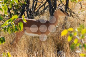 Black-faced impala between grass and trees Namibia - Popular Stock Photos