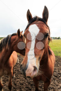 Brown horse looking forward - Popular Stock Photos