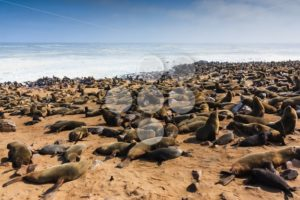 Cape fur seal gathering beach Cape Cross - Popular Stock Photos