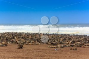 Cape fur seal group at the beach Cape Cross - Popular Stock Photos