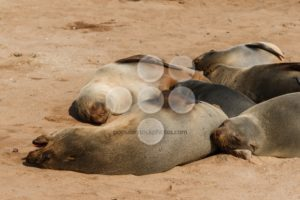 Cape fur seal group resting - Popular Stock Photos