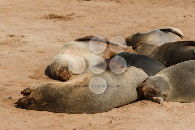 Cape fur seal group resting – Popular Stock Photos