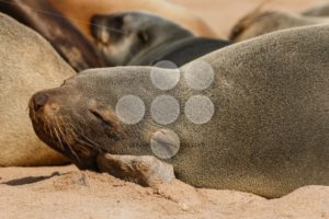 Cape fur seal resting on a stone - Popular Stock Photos