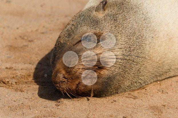 Cape fur seal sleeping close up – Popular Stock Photos