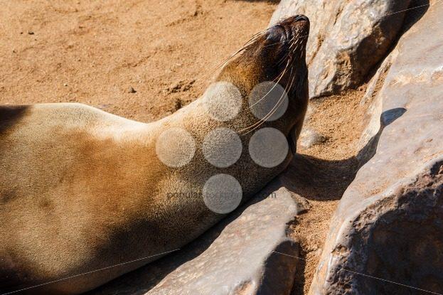 Cape fur seal warming up – Popular Stock Photos