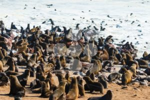 Cape fur seals entering leaving ocean - Popular Stock Photos
