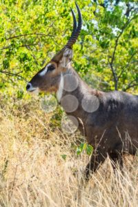 Close up defassa waterbuck - Popular Stock Photos