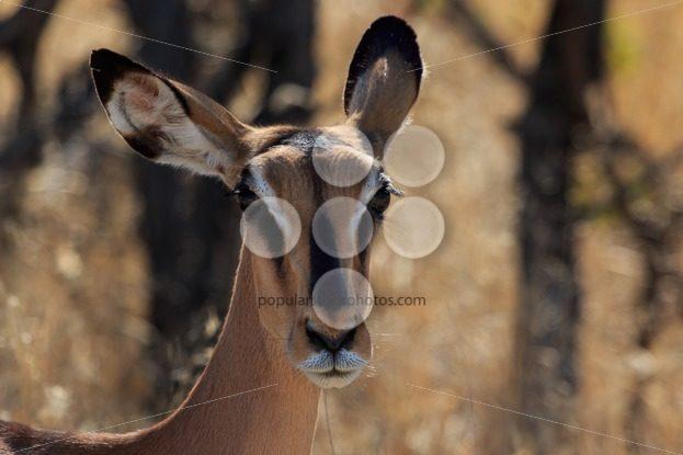 Close up head black-faced impala in Namibia – Popular Stock Photos