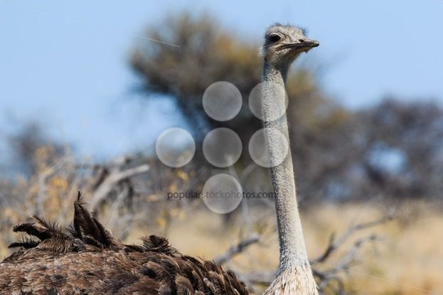 Close up ostrich head – Popular Stock Photos