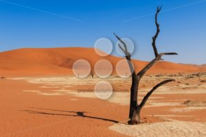 Close up tree deadvlei valley Namibia - Popular Stock Photos