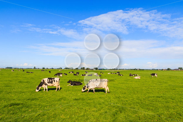 Cows in field in summer – Popular Stock Photos
