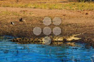 Crocodile resting and cooling riverfront Chobe Botswana Africa - Popular Stock Photos