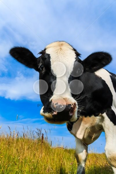 Curious dairy cow close-up in field – Popular Stock Photos