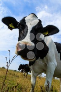 Curious dairy cow close up tilting head - Popular Stock Photos