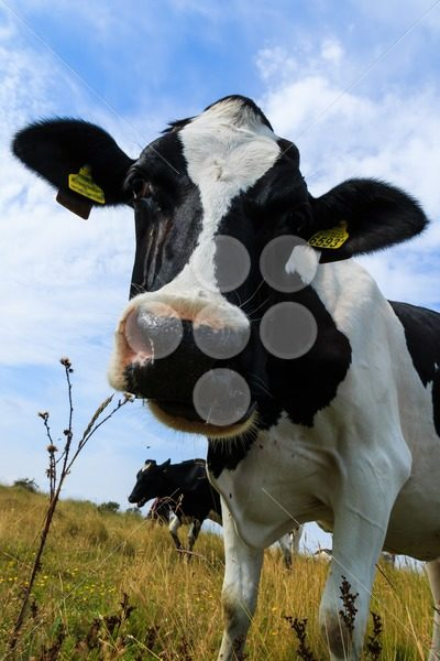 Curious dairy cow close up tilting head – Popular Stock Photos