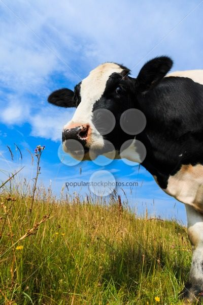 Curious dairy cow standing in field – Popular Stock Photos