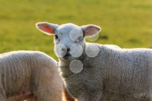 Cute young lamb halo - Popular Stock Photos