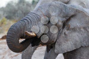 Elephant drinking - Popular Stock Photos