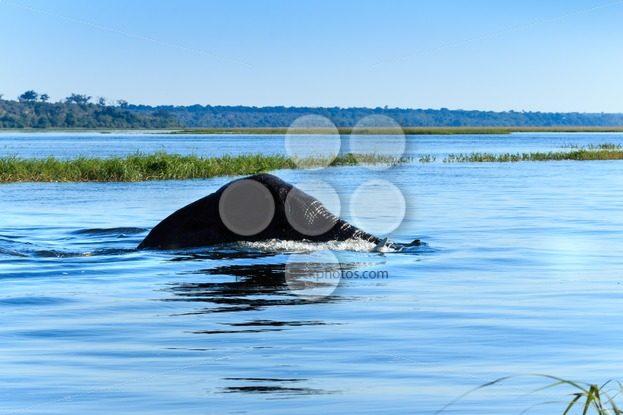 Elephant swimming Chobe river Botswana Africa – Popular Stock Photos