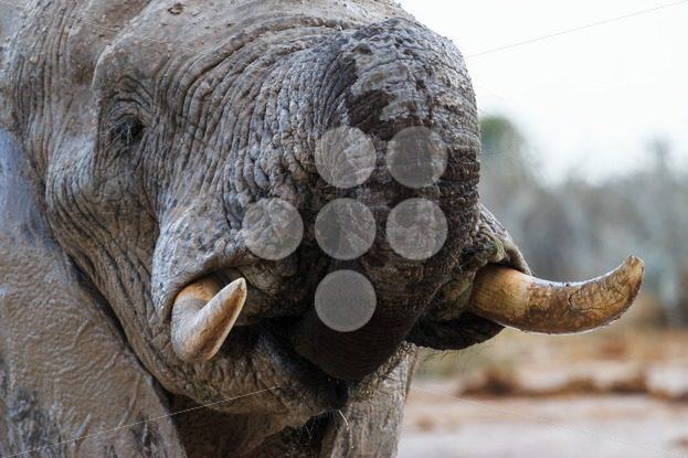 Elephant takes some water – Popular Stock Photos