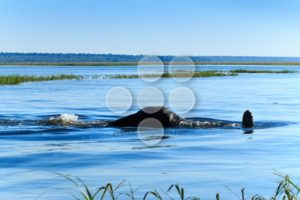 Elephant taking dive Chobe river Botswana Africa - Popular Stock Photos
