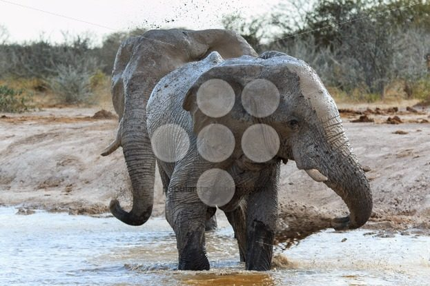 Elephants getting muddy – Popular Stock Photos