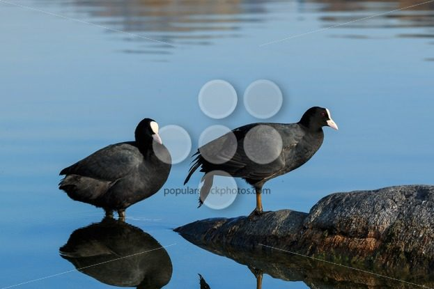Eurasian coot shallow water lake - Popular Stock Photos