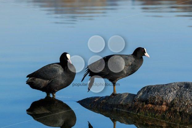 Eurasian coot shallow water lake - Popular Stock Photos