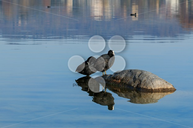 Eurasian coots on lake - Popular Stock Photos