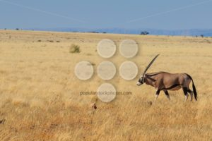 Gemsbok or gemsbuck oryx walking in Namib Desert - Popular Stock Photos