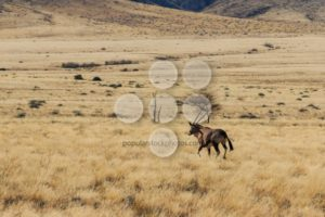 Gemsbok or gemsbuck oryx walking in field - Popular Stock Photos