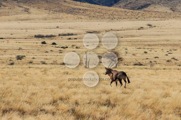 Gemsbok or gemsbuck oryx walking in field – Popular Stock Photos