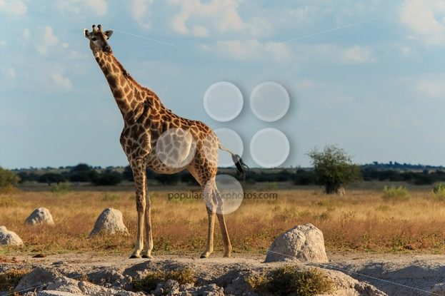 Giraffe at a water hole – Popular Stock Photos