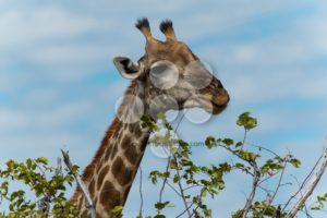 Giraffe eating leafs - Popular Stock Photos