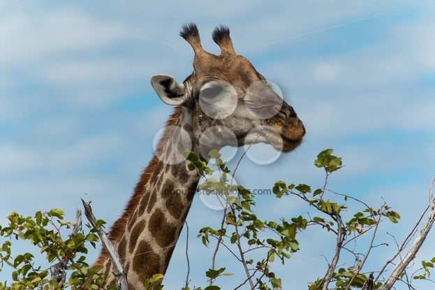 Giraffe eating leafs – Popular Stock Photos