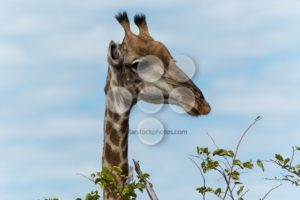 Giraffe going for leafs on tree - Popular Stock Photos
