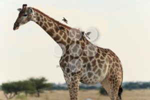 Giraffe with birds - Popular Stock Photos