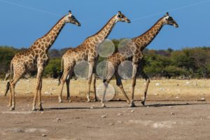Giraffes, three in a row - Popular Stock Photos