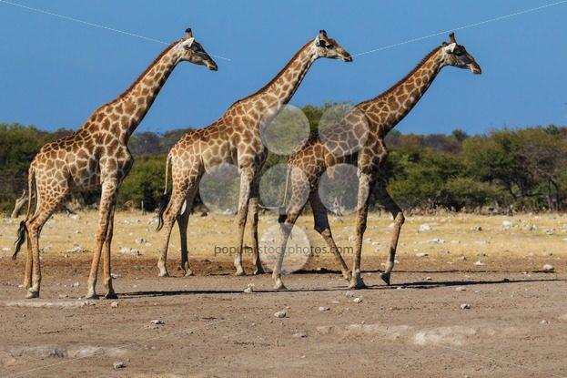 Giraffes, three in a row – Popular Stock Photos