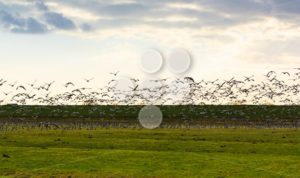 Goose flying away sunset - Popular Stock Photos