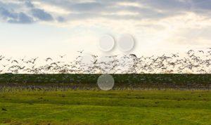 Goose flying away sunset - Popular Stock Photos